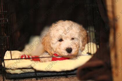 KU8C8856   cute baby Labradoodle puppy   Keywords: dog puppy golden labradoodle labrador small baby cute pet animal gold paws black eyes tiny cage
