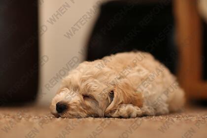 KU8C8874   cute Labradoodle puppy   Keywords: dog puppy golden labradoodle labrador small baby cute pet animal gold paws black eyes tiny sleepy sleeping floor carpet