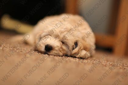 KU8C8873   Cutle baby Labradoodle puppy   Keywords: dog puppy golden labradoodle labrador small baby cute pet animal gold paws black eyes tiny sleepy sleeping floor carpet